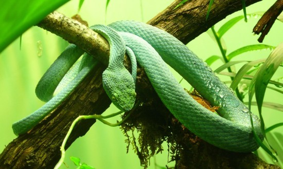 Green Pit Viper Beautiful Snakes
